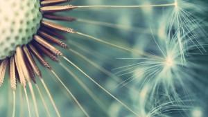 Beautiful-Dandelion-Flowers
